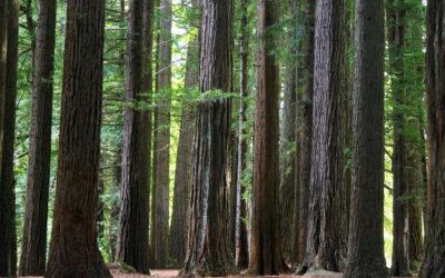 002 Redwoods