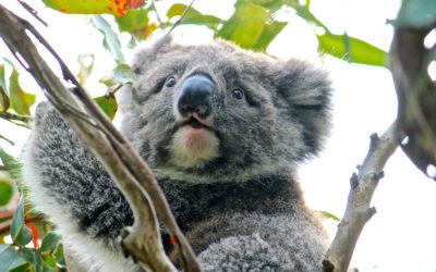 003 Koala