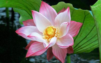 005 Lotus splendour
