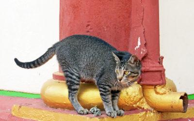 005 Temple feline