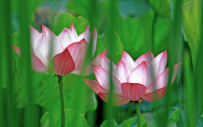 006 Secret lotus.