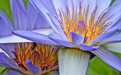007 Blue lily rhapsody