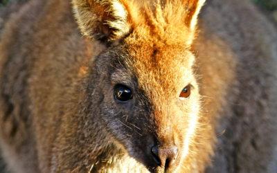 012 Kangaroo