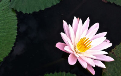 012 Lily in pond