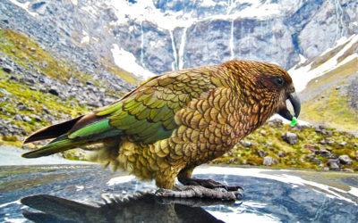 013 New Zealand Kea