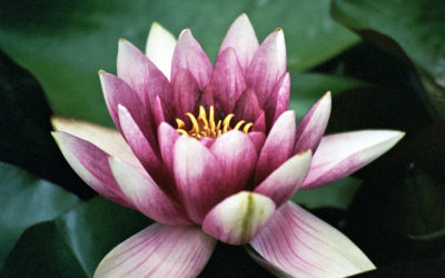 013 Ornamental water lily