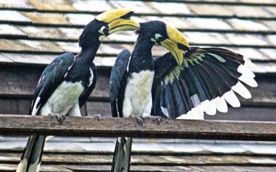 015 Hornbills at home
