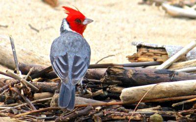 016 Beach cardinal