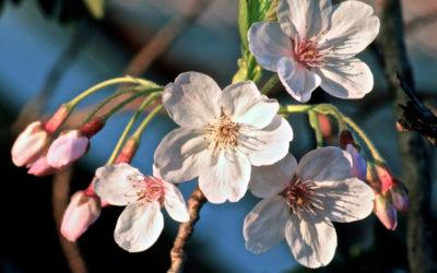 020 Spring blossom