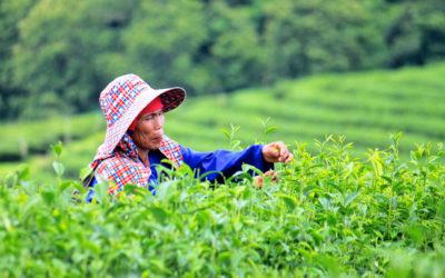 022 Tea harvest northern Thailand