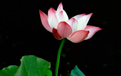 024 Portrait of a lotus