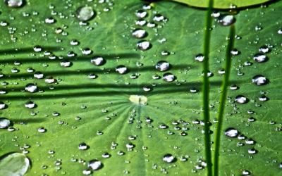 026 Lotus leaf patterns