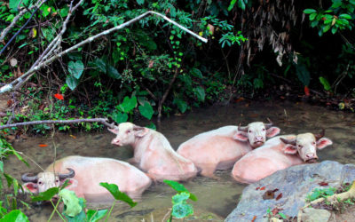 026 Pink water buffalo