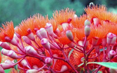 029 Eucalytptus glory