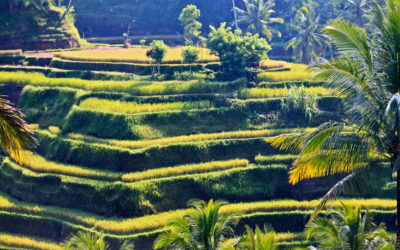 030 Rice terraces Bali