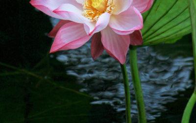 001 Lotus glory