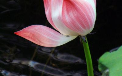 003 Lotus song