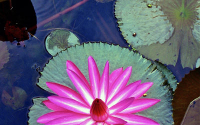 005 Water lily