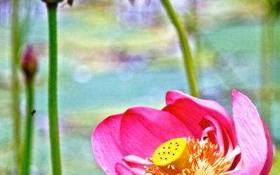 006 Lotus pond