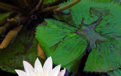 010 Lily pond