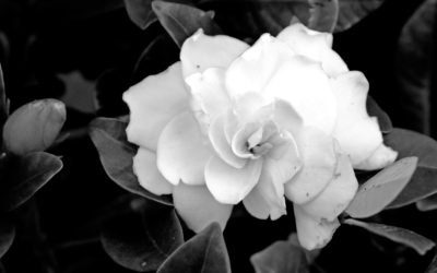011 Gardinia in black & white