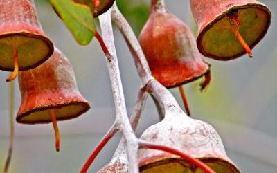 015 Gum nuts