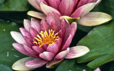 023 Water lilies