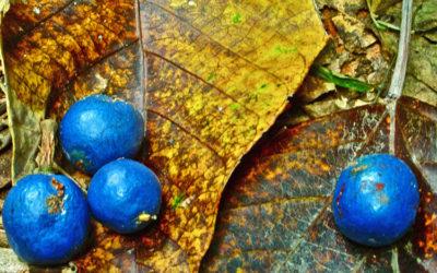 028 Blue berries