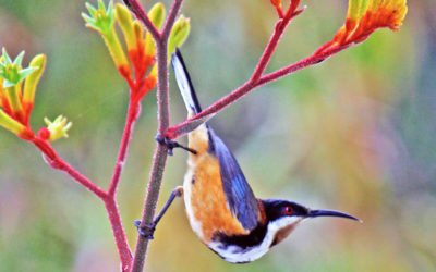 005 Eastern spinebill