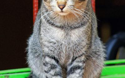 008 Myanmar cat