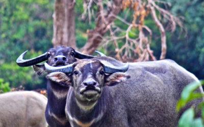 028 Water buffalo