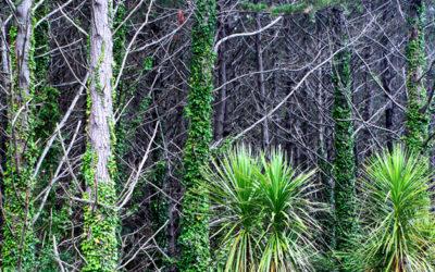 004 Pandanas and pine