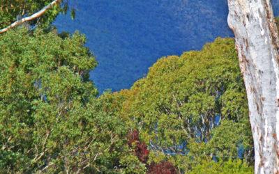 019 Eucalyptus giant