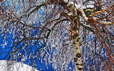 026 Winter birch
