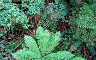 027 Otway fern garden
