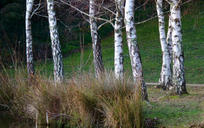 029 Silver birch reflections